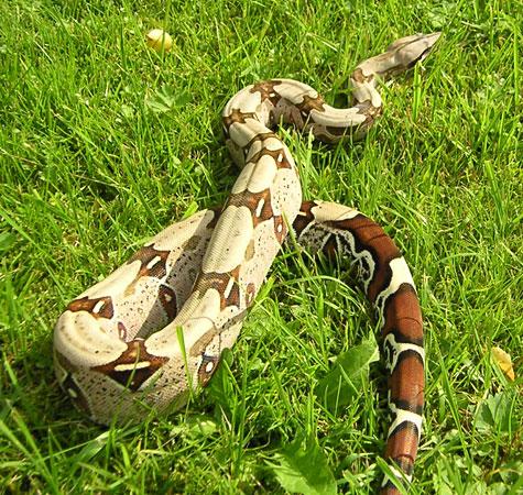 Pantanal Escapes Boa Constrictor